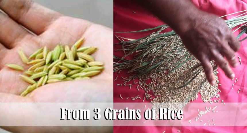 12.three-grains-of-rice